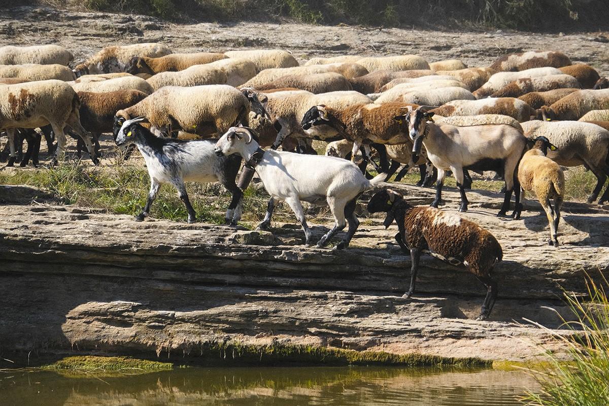 Ramat de bens i cabres; vells relats, nous camins.